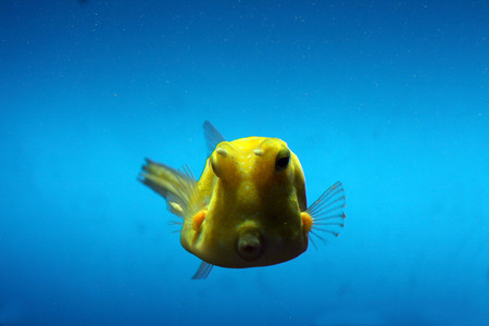 boxy: yellow boxy cow fish with horns in water Stock Photo