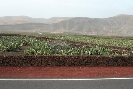 canarias: cactus fields landscape  in canarias islands