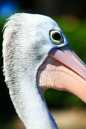 head close up: White pelican head close up