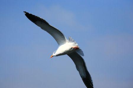 beack: seagull in flight from rear