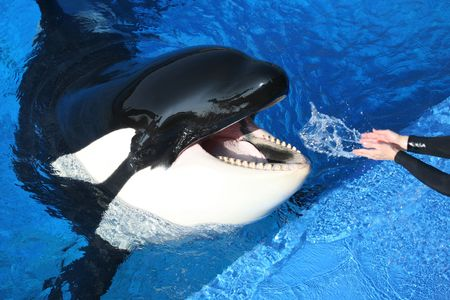 killer whale being watered by hand