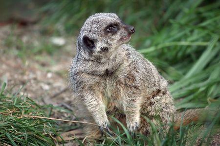 suricate: suricate standing on its legs