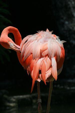 flamenco ave: Flamingo ave su pluma con pico de limpieza  Foto de archivo