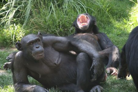 couple of monkeys, one lookin, the other yawning