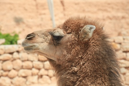 young camel face in african desert