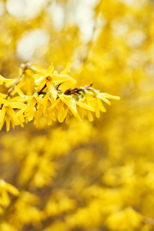 Early blooming yellow Forsythia flowers. Forsythia x intermedia, europaea. Forsythia is a garden bush that blooms in the spring. Selective focus. Copy space for text or design. Banco de Imagens