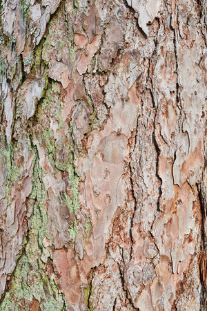 Embossed texture of the bark of red pine. Pine bark background. Close-up view of highly detailed tree bark texture. Nature wood background. Banco de Imagens