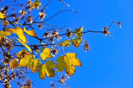 Yellow fall maple leafs over the blue sky. Copy space for text. Selective focus.
