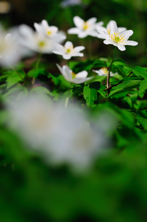Anemone nemorosa, white spring flowers also known as windflower. Close up. Selective focus. Bokeh. Copy space for text.