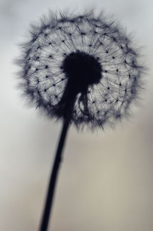 Silhouette of Dandelion with selective focus on seeds and copy space for text.