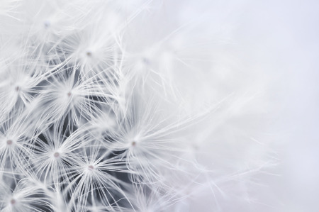Close up of Dandelion seeds for background. Copy space for text. Selective soft focus.