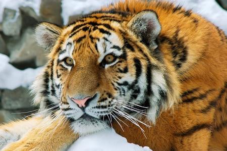 panthera tigris: Amur tiger in the Novosibirsk zoo