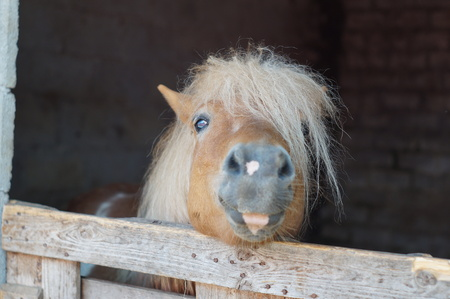 fostering: Hairy pony - focus on the eye Stock Photo