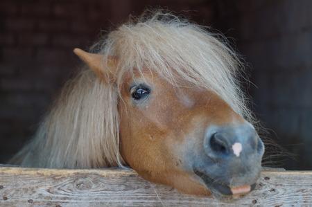 fostering: hairy pony Stock Photo