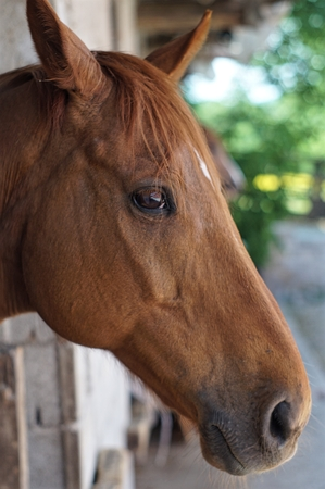 fostering: Brown horse