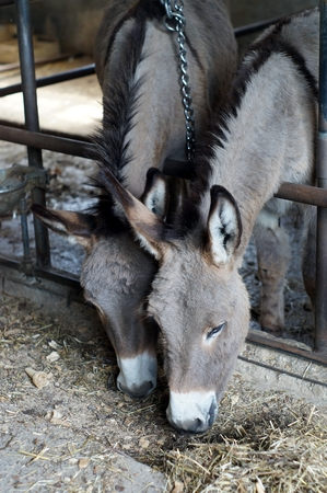 fostering: Two donkeys eating hay in a stable