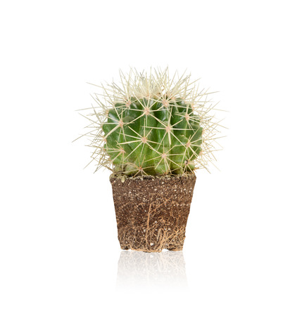 fibrous: succulent,Melocactus is unpotted and it shows the fibrous root.Isolated on white with clipping path Stock Photo