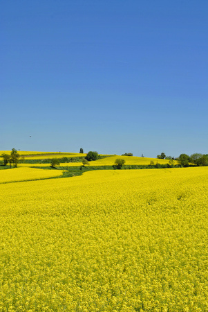 Rapeseed flower with blue sky background
