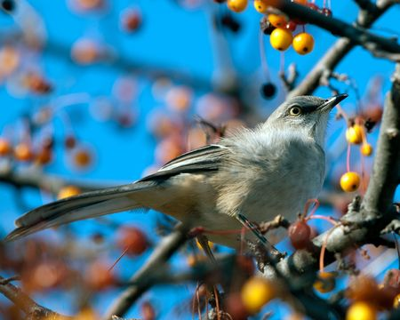 mockingbird: Northern Mockingbird eating berries Autumn sunset