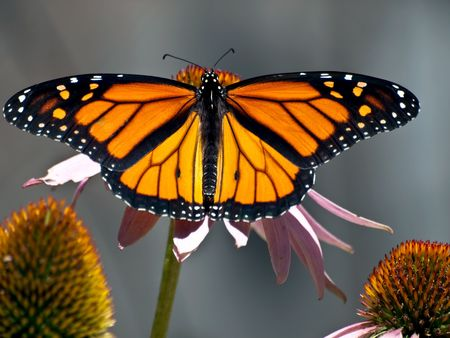 Viceroy Butterfly wings spread getting pollen from cone flower Banco de Imagens