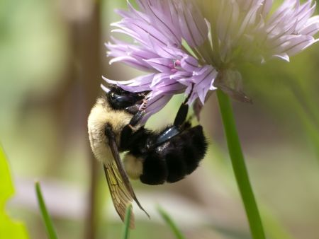 Bee getting pollen from Clover Flower Banco de Imagens