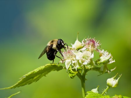 Bee getting pollen from Raspberry Blossom