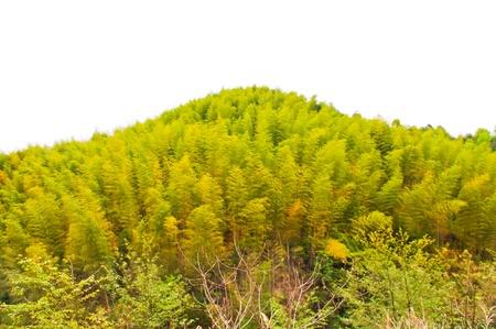 bamboos field at the foot of mountain at china Banco de Imagens