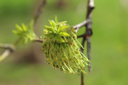 climbed: in spring the tree from the buds climbed the leaves Stock Photo