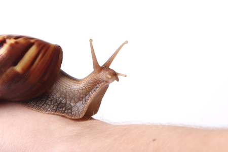 clam gardens: Achatina snail crawling on the hand on white background Stock Photo