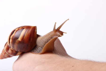 Achatina snail crawling on the hand on white background Stock Photo