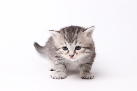 beautiful gray British kitten on white background Stock Photo