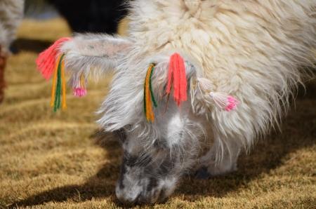 Llama on the Laguna Colorada, Bolivia Stock fotó