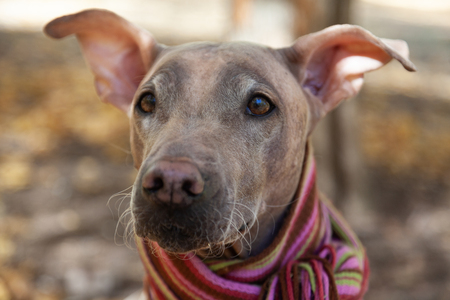 The head of pretty pale dog in bright stripped scarf on the autumn/fall background. Outdoors, fallen golden leaves, close up portrait. Attentive smart look. Melancholy mood. Hairless velvet dog, American Hairless Terrier breed.