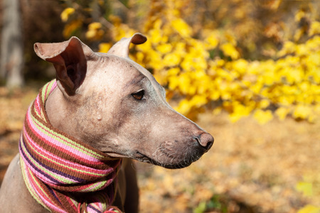 The head of pretty pale dog in bright stripped scarf on the autumn/fall background. Outdoors, fallen golden leaves, close up portrait in profile. Attentive smart look. Melancholy mood. Hairless velvet dog, American Hairless Terrier breed. Copy space.