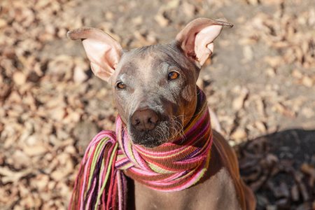 Pretty pale dog in bright stripped scarf on the autumn/fall background. Outdoors, fallen golden leaves, sunny day, close up portrait. Attentive smart look. Melancholy mood. Hairless velvet dog, American Hairless Terrier breed. Above view. Copy space.