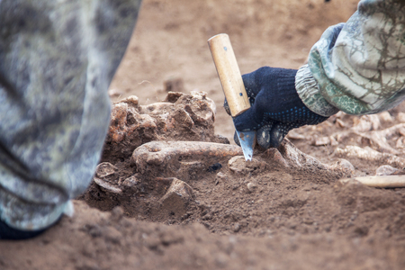 Archaeological excavation. Archaeologist with bones, part of skeleton from the ground. Close up image of real process.