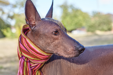 The head of Xoloitzcuintle dog (Mexican Hairless dog breed) in bright stripped scarf on the autumn/fall background. Outdoors, close-up portrait of adult dog of big (standard) size. Copy space