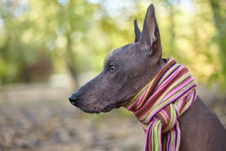 Xoloitzcuintle dog (Mexican Hairless dog breed) in bright stripped scarf on the autumn/fall background. Outdoors, close-up portrait of adult dog of big (standard) size. Copy space. 写真素材