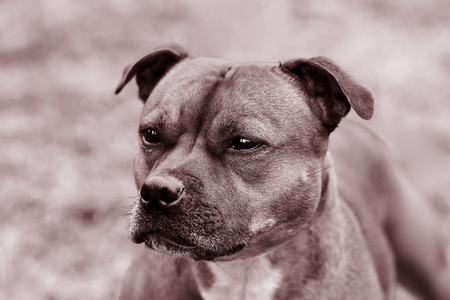 Beautiful dog of the Staffordshire Bull Terrier breed, Close up portrait in monochromatic toned, clever look. Outdoors, copy space.