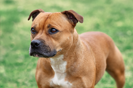 Beautiful dog of Staffordshire Bull Terrier breed, of ginger color with melancholy look, close up portrait of cuty dog female. Outdoors, copy space.