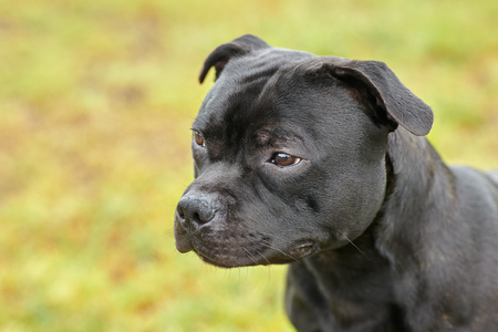 Beautiful dog of Staffordshire Bull Terrier breed, dark tiger color with melancholy look. Close up portrait on yellowish green background. Outdoors, copy space.
