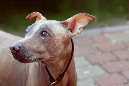 Close up portrait of cute dog with clever look. Melancholy mood. Hairless velvet dog, American Hairless Terrier breed. Outdoors, copy space for text. Stockfoto