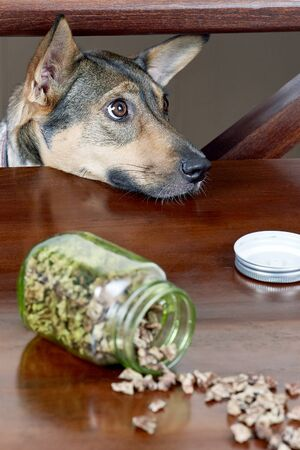 Cute hungry mongrel dog looks upon the table to the treats. Dry dog treats usually used as a rewards during the positive training. Indoors, copy space.