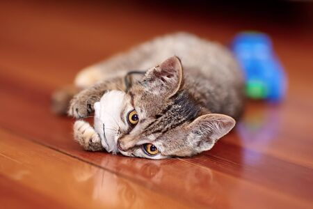 Cute little cat of tabby color plays on the wooden floor with white toy mouse. Pretty kitten with yellow eyes at home. Indoors, close up, selective focus, copy space.