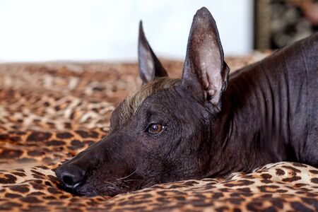 The head of Xolotizcuintle (Mexican Hairless Dog breed), of standard size, with red and white mohawk, lying on a leopard cover. Beautiful, clever and calm look, bronze hairless skin, ears up. Indoors. 写真素材