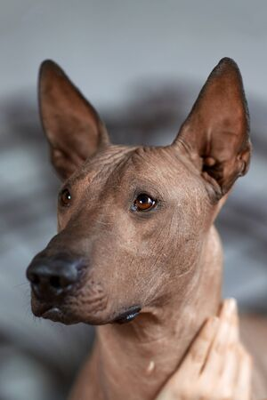 The head of Xolotizcuintle (Mexican Hairless Dog breed), of standard size, front view close up portrait. Beautiful, clever and calm look, bronze hairless skin, ears up. Indoors, copy space. 写真素材