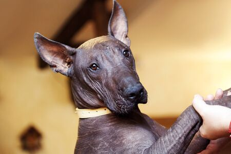 The portrait of a dog of Xolotizcuintle breed, or mexican hairless one. Standard size, front view, close up head with beautiful, clever and calm look, bronze skin, ears up. Indoors, copy space.