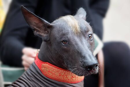 The portrait of a beautiful dog of rare xolotizcuintle breed, or mexican hairless one, of standard size. Dog watches to the camera with clever serious look, dark bronze skin, red mohawk on the head. Outdoors, copy space.