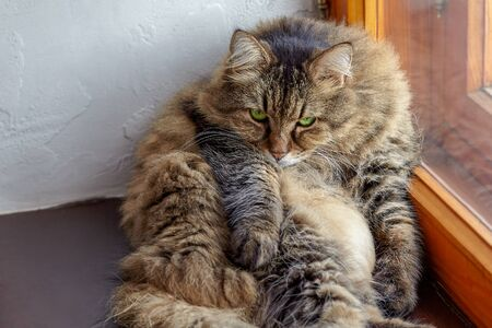 ?ute and fat long-haired siberian cat of tabby color with bright green eyes. Fluffy, with impressive look, lays on the windowsill. Animal in our home concept. Indoors, copy space.