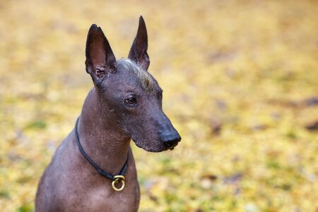 Xoloitzcuintle dog, or Mexican Hairless breed on the autumn park. Outdoors, close up portrait of adult dog of big (standard) size. Copy space, yellow leaves background.